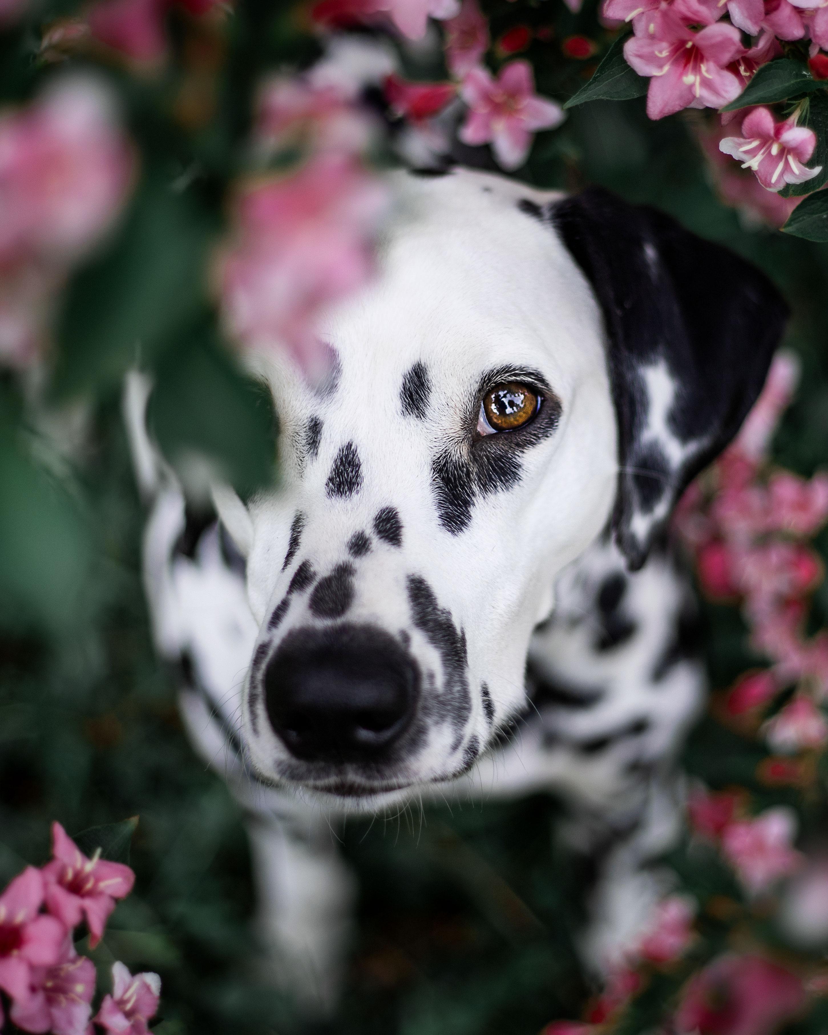 Dalmatier bloemen hondenfotografie