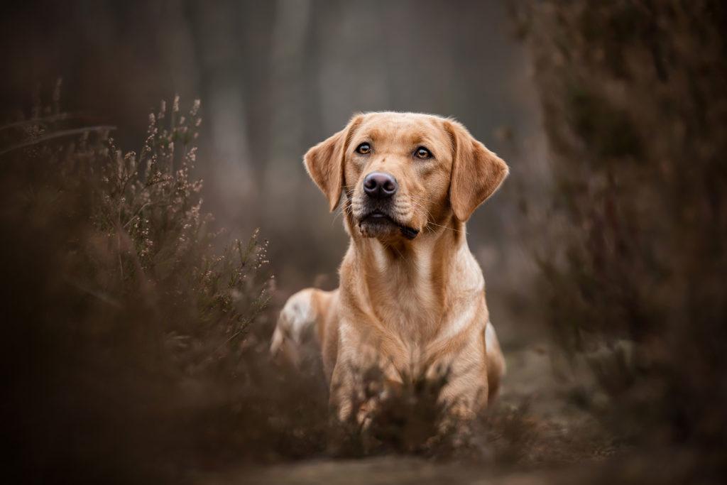 Honden fotografie Labrador dierenfotografe honden paarden fotoreizen