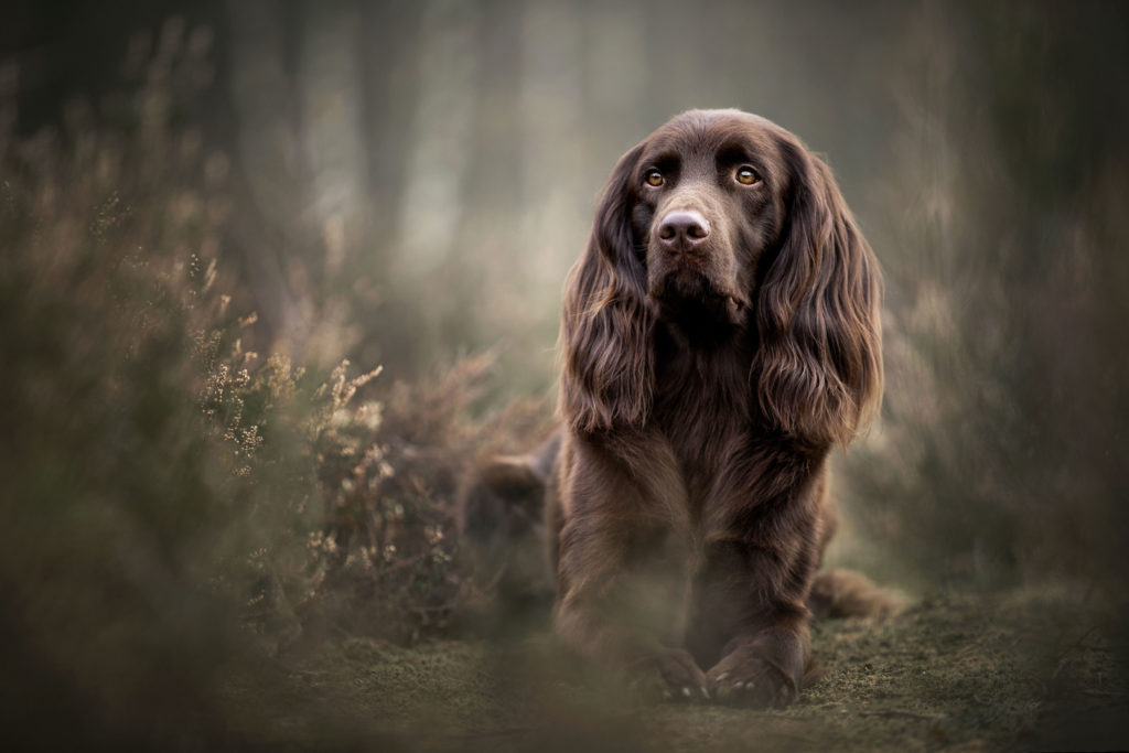 Duitse Staande langhaar hondenfotografie