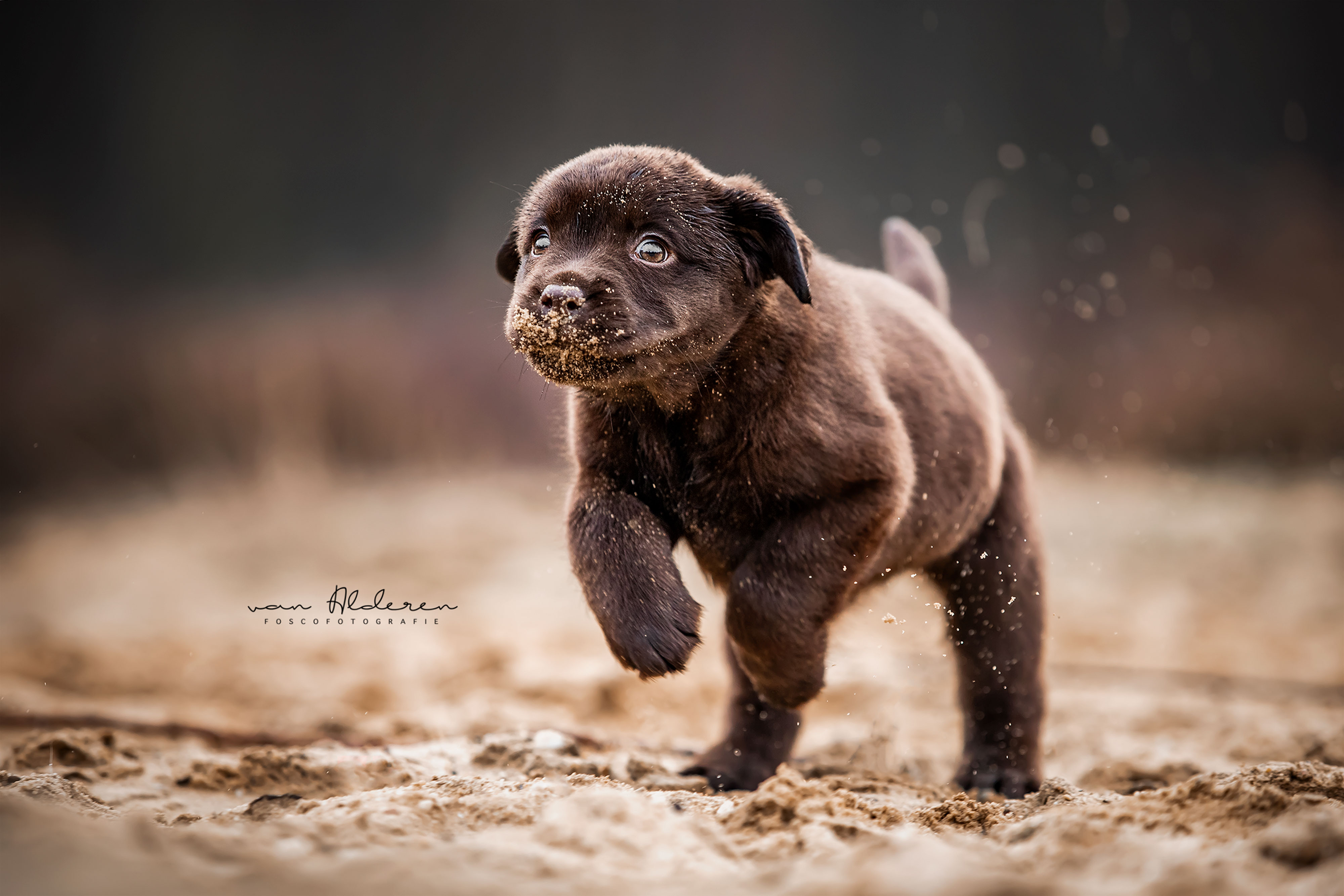 Labrador retriever puppy hondenfotografie chocolat bruin fotosessie hond