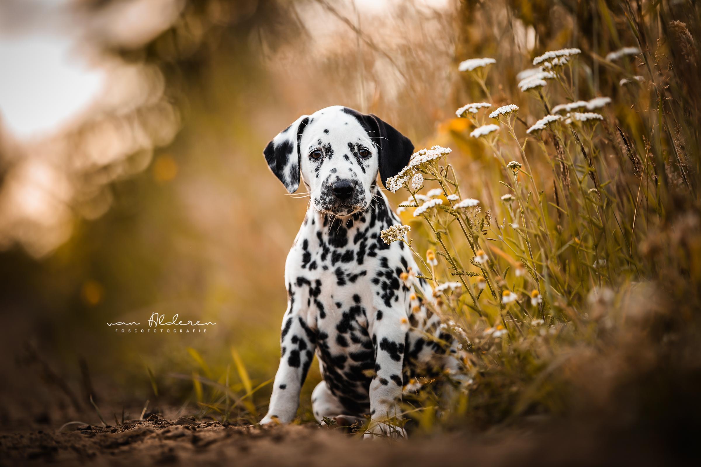 Dalmatiër puppy foscofotografie