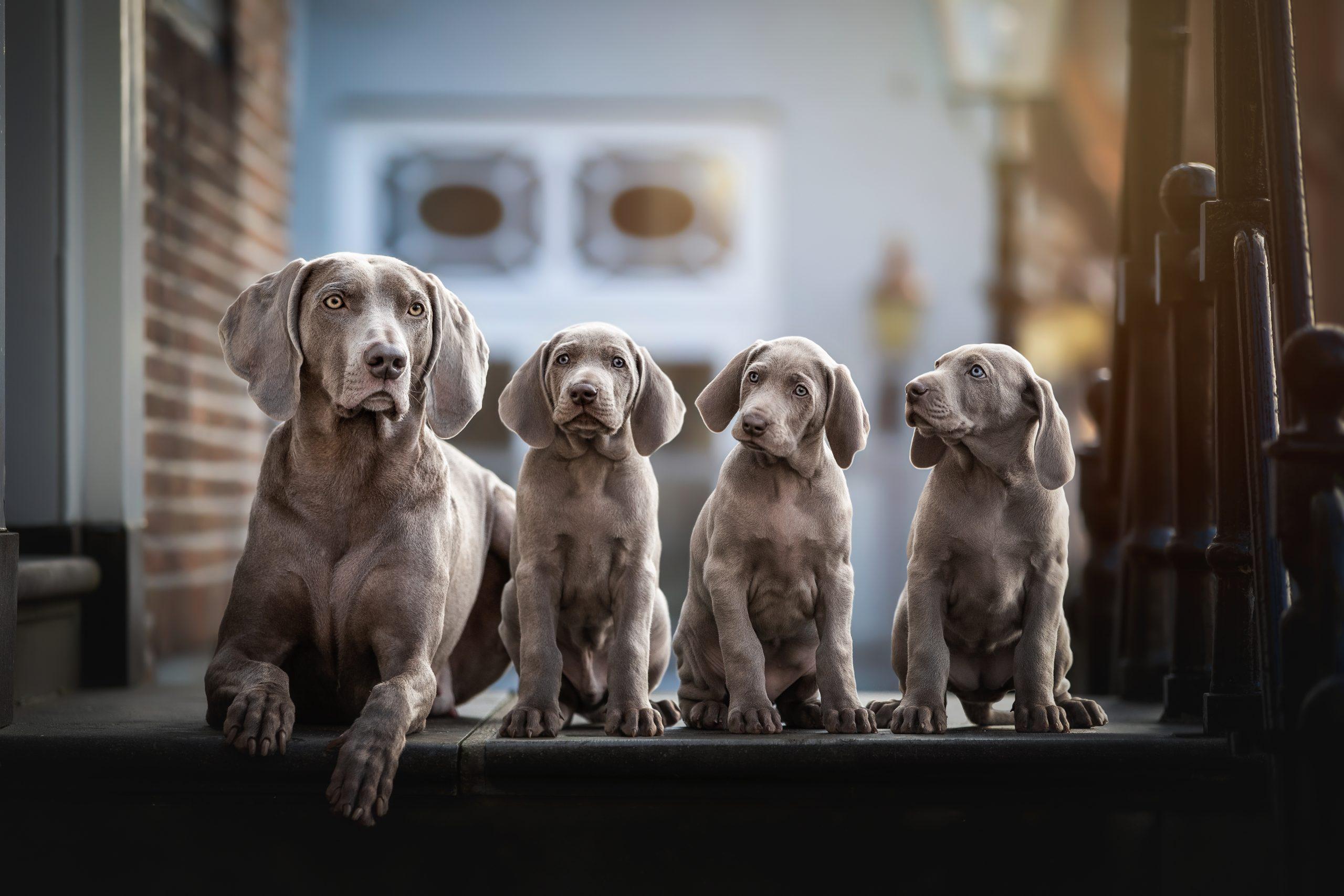 Weimaraner puppy's litter foscofotografie