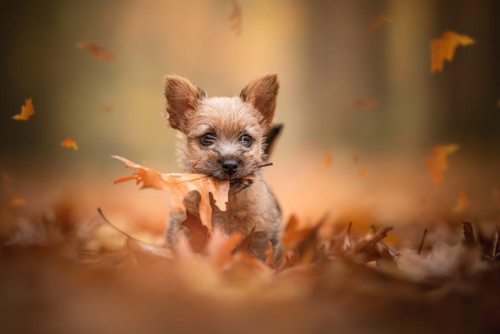 Norwich terriër puppy Foscofotografie honden fotograaf
