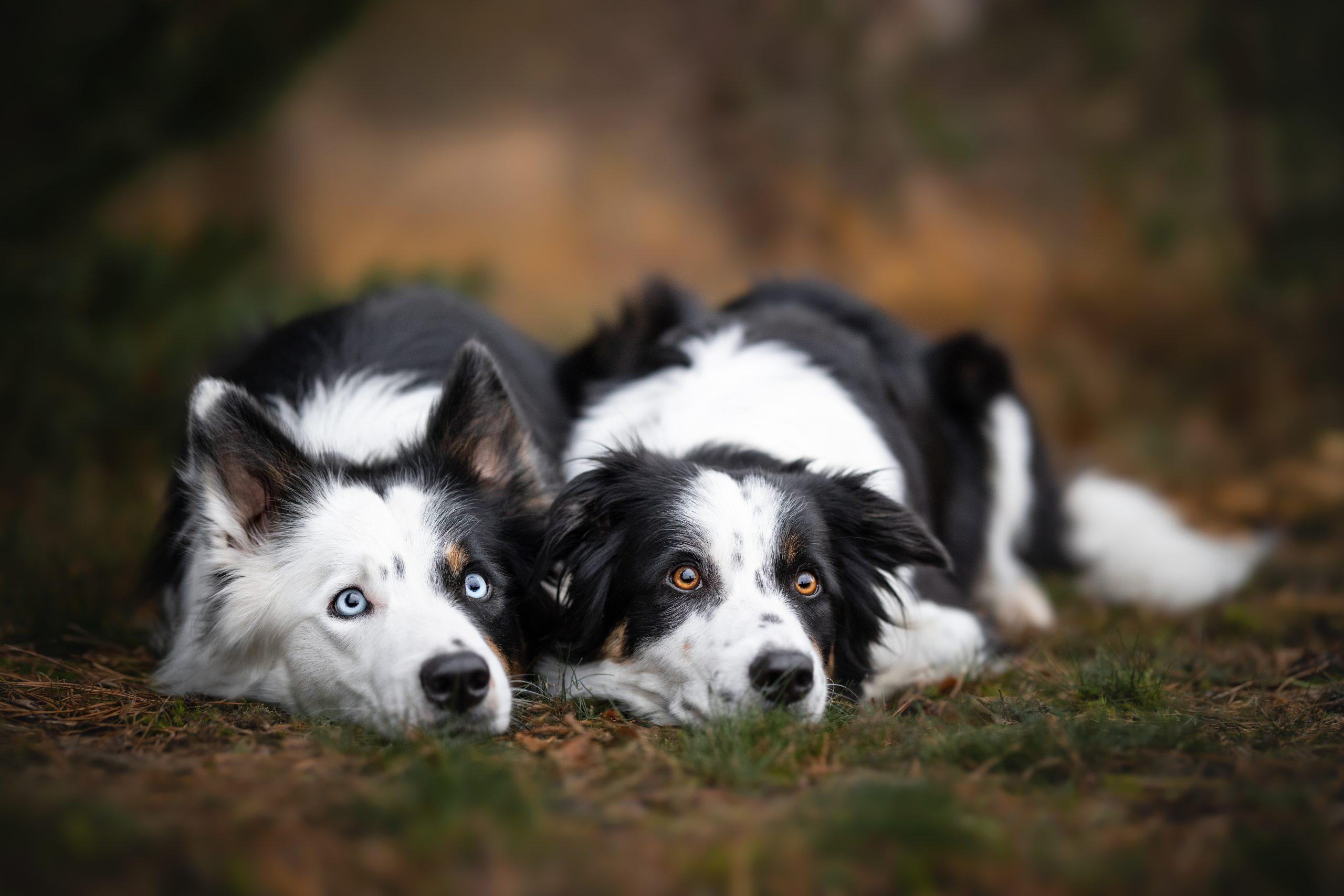 Border collies foscofotografie honden fotograaf