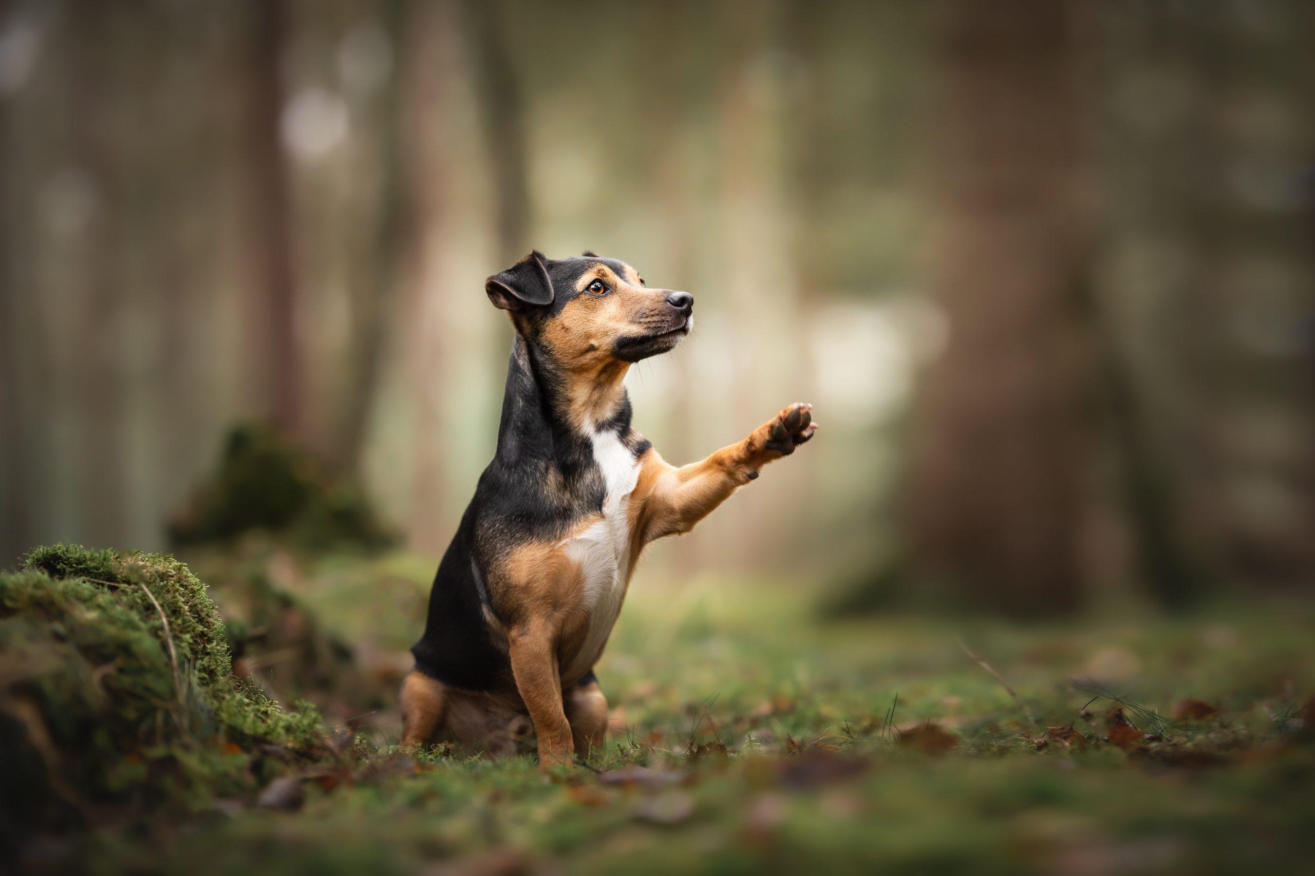 Jack Russel honden fotografie