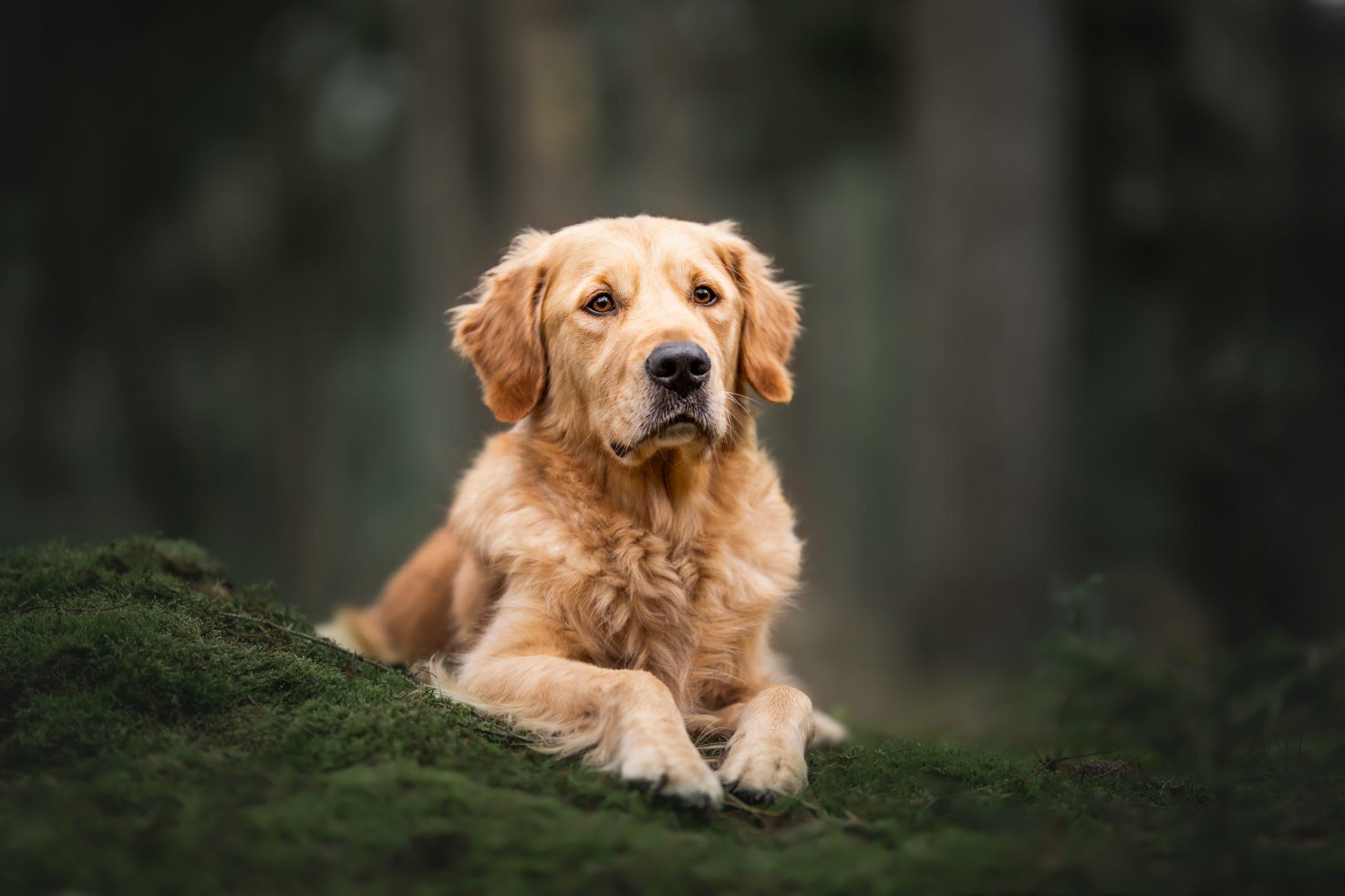 Golden Retriever honden fotografie