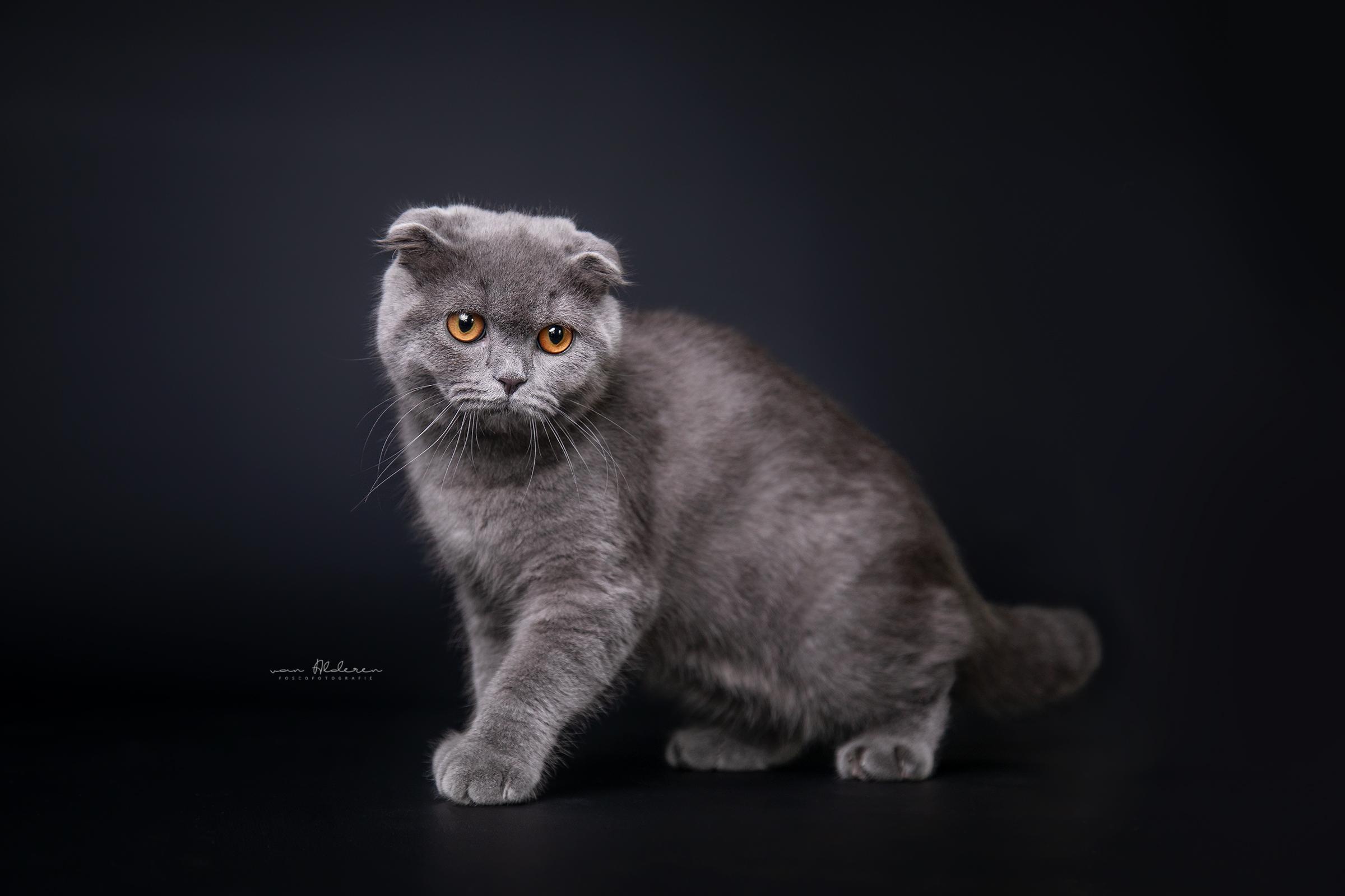 Studio honden portret Britse korthaar Foscofotografie