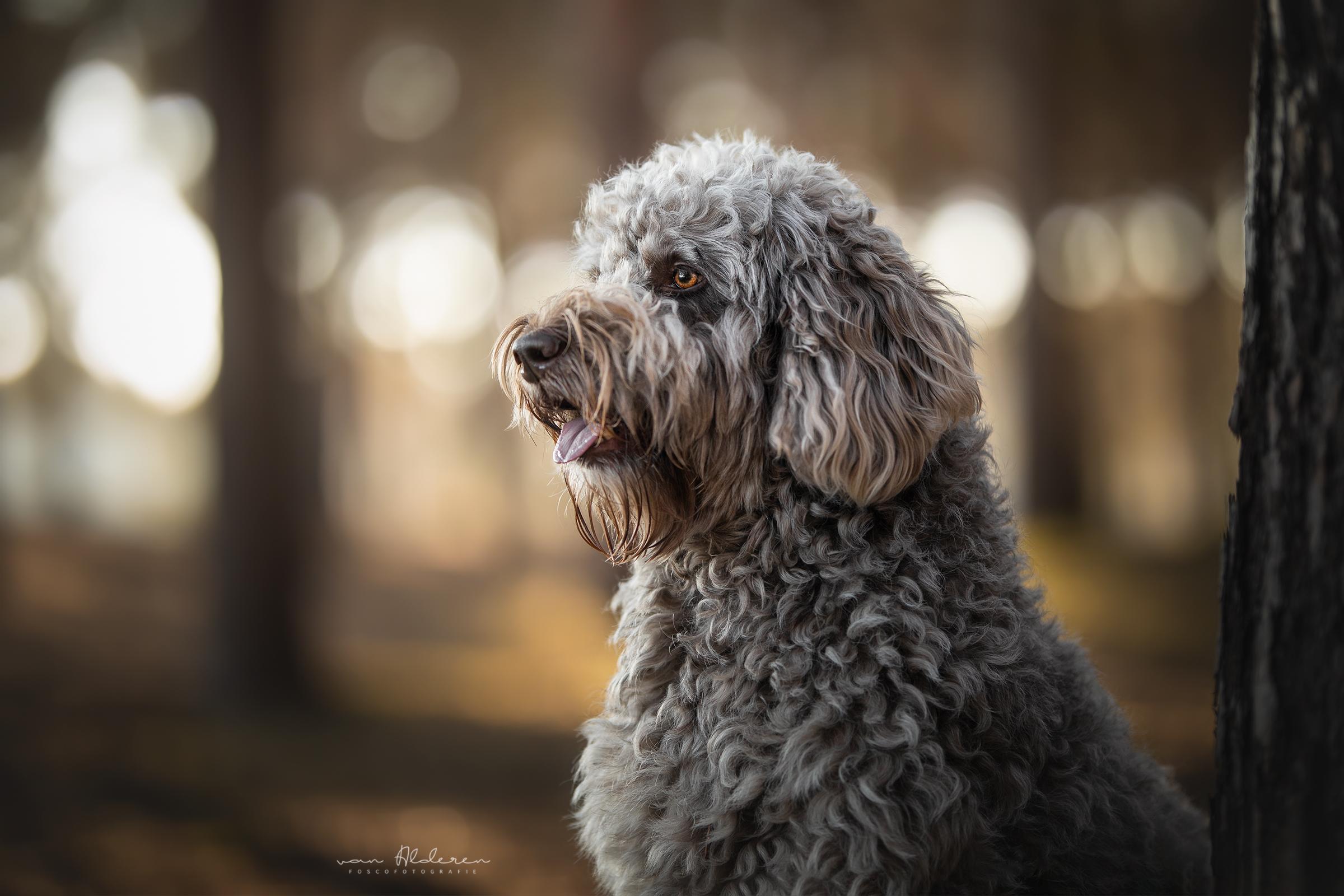 Labradoodle hondenfotografie