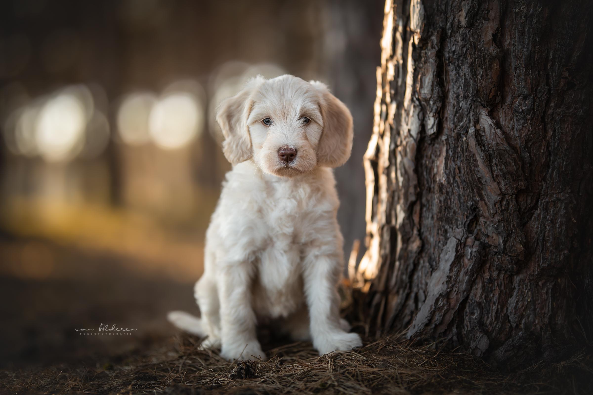 Labradoodle puppy hondenfotografie