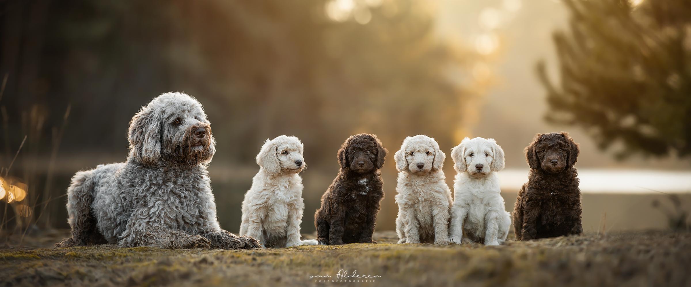 Labradoodle puppy's nestje hondenfotografie