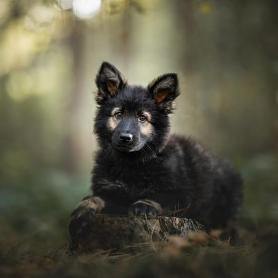 German Shepherd puppy Foscofotografie