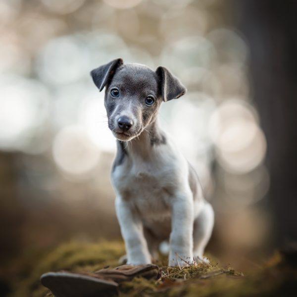 Jack Russel terriër puppy Foscofotografie
