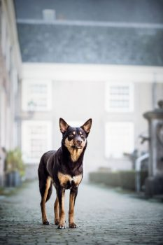 Kelpie honden fotografie breda