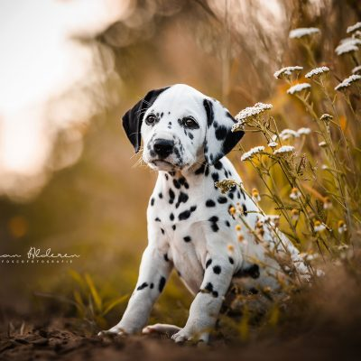 Dalmatiër puppy nest fotografie